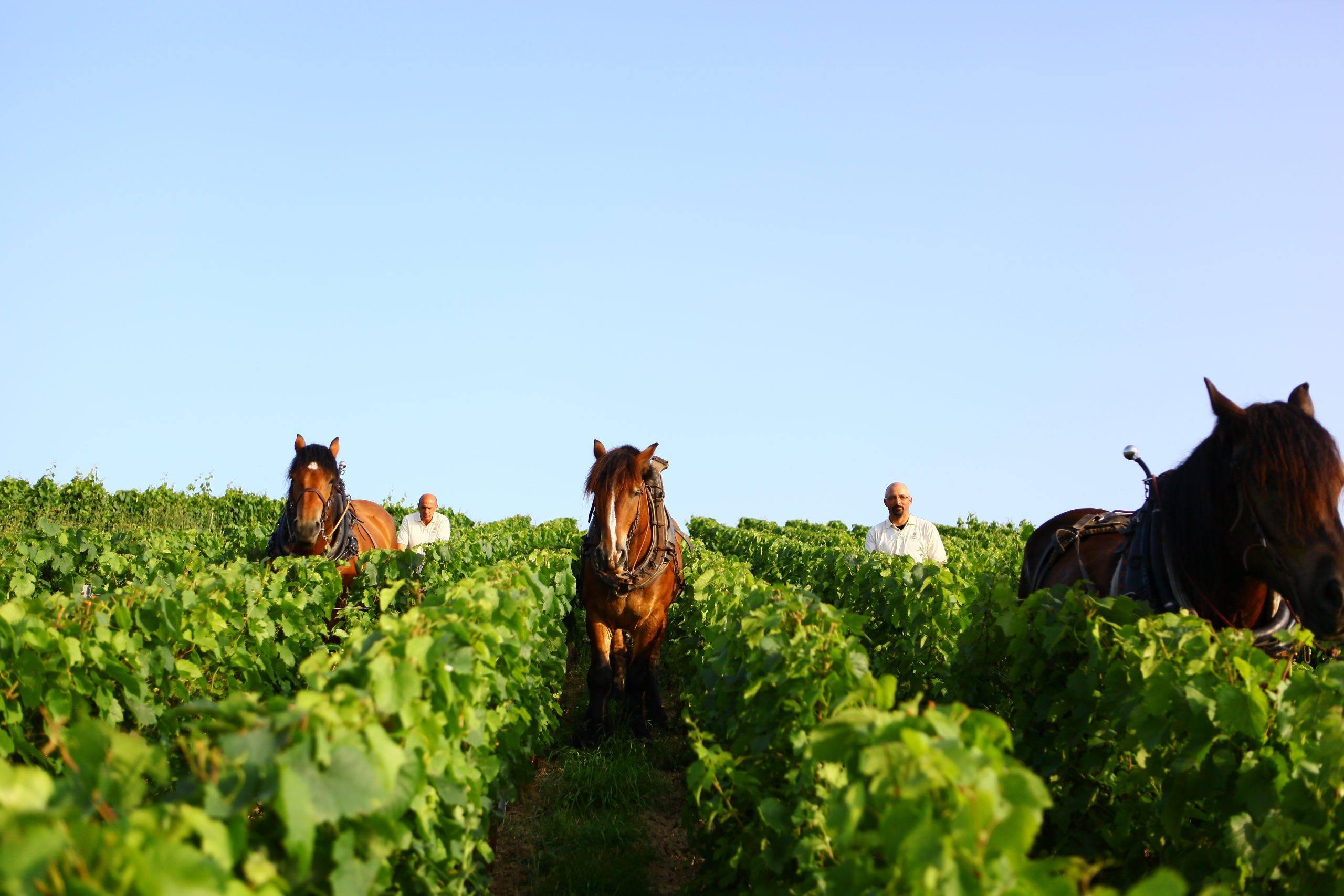 Un vignoble préservé - Champagne Philipponnat